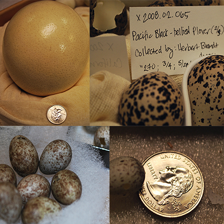 Emu, Plover and Swallow eggs.