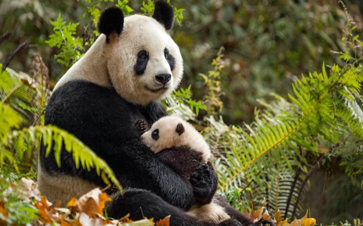 An adult and baby panda