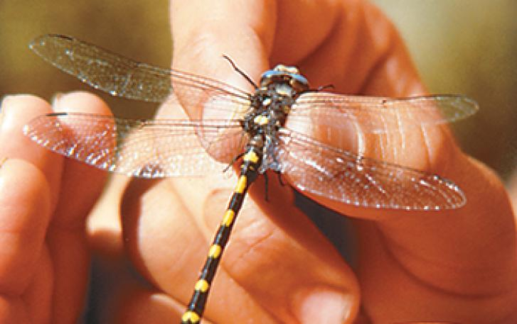 Close-up of hand holding dragonfly