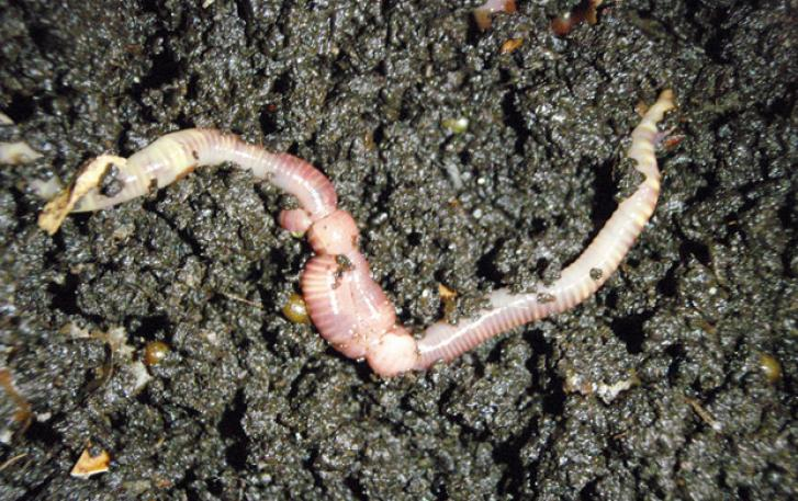 Earthworm in damp soil