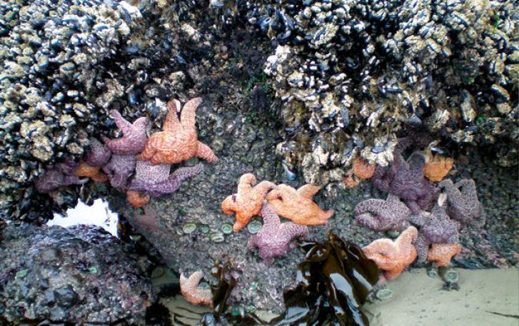 Starfish and barnacles in tide pool